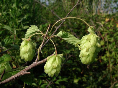 LUPPOLO (Humulus lupulus L./am. Cannabaceae)